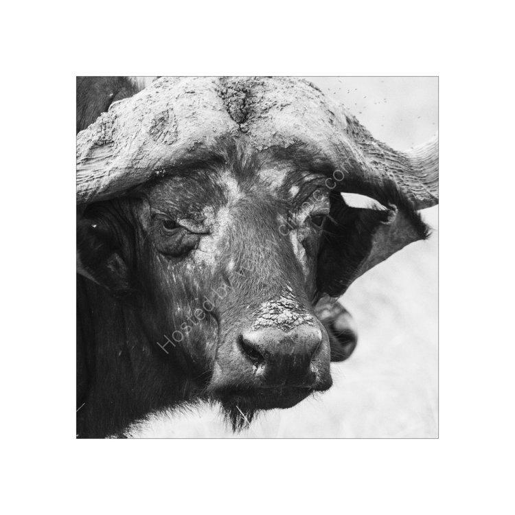 Buffalo Study 1
