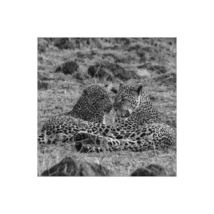 Mother & Child, Leopard Study 1
