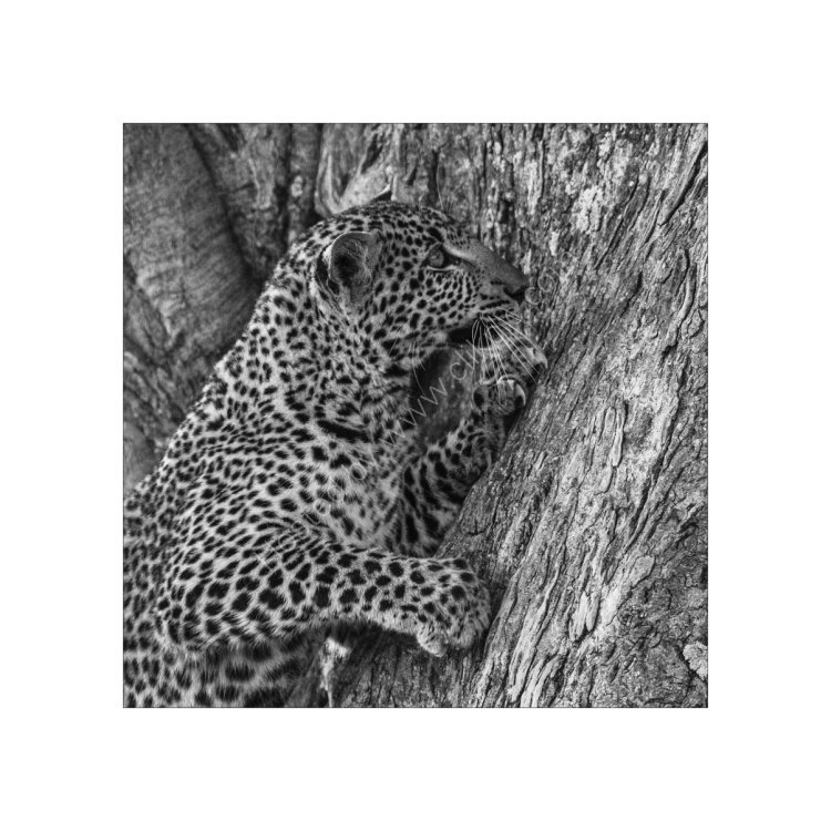 Leopard Study 2
