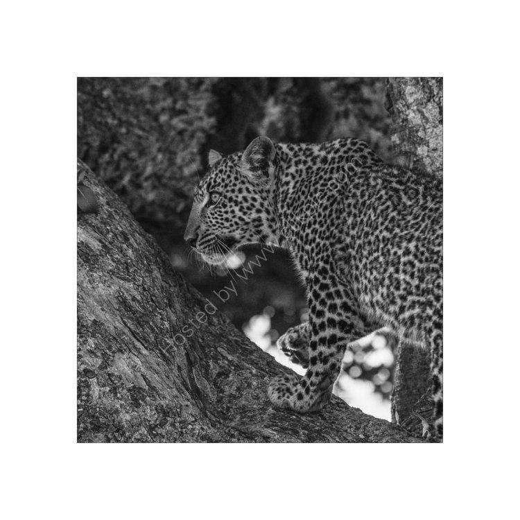 Leopard Study 3