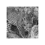 Leopard Study 4