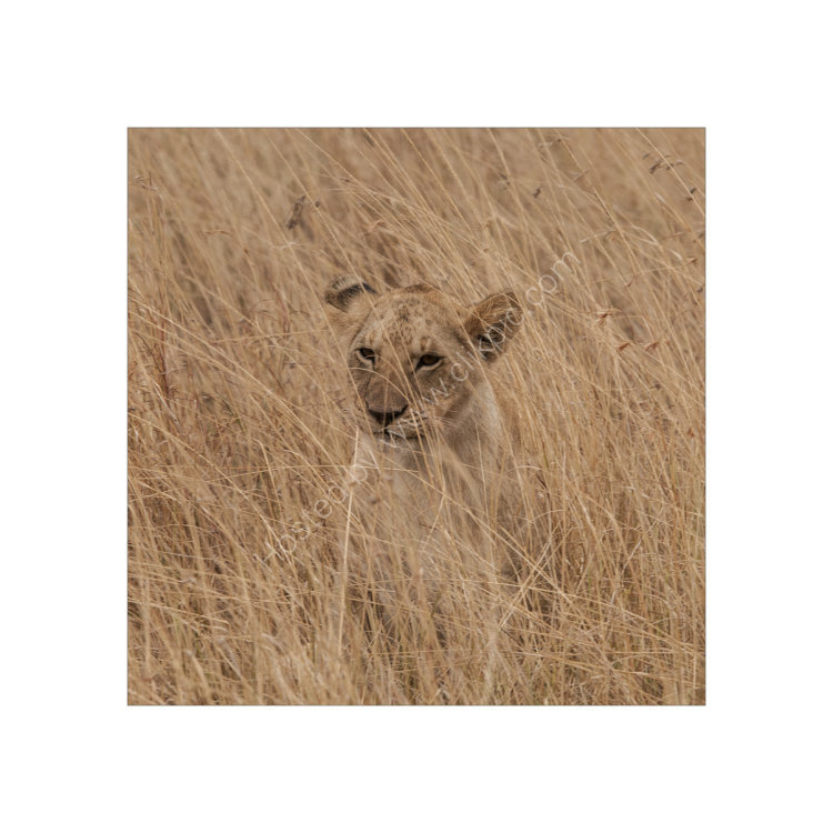 Lion Cub relaxing, Study 2