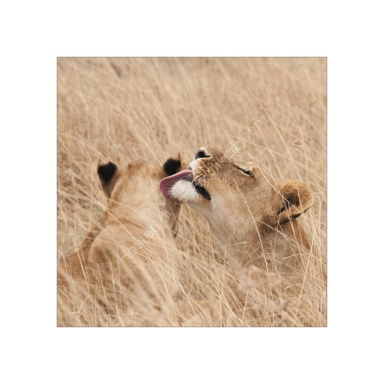 Lion Study 1