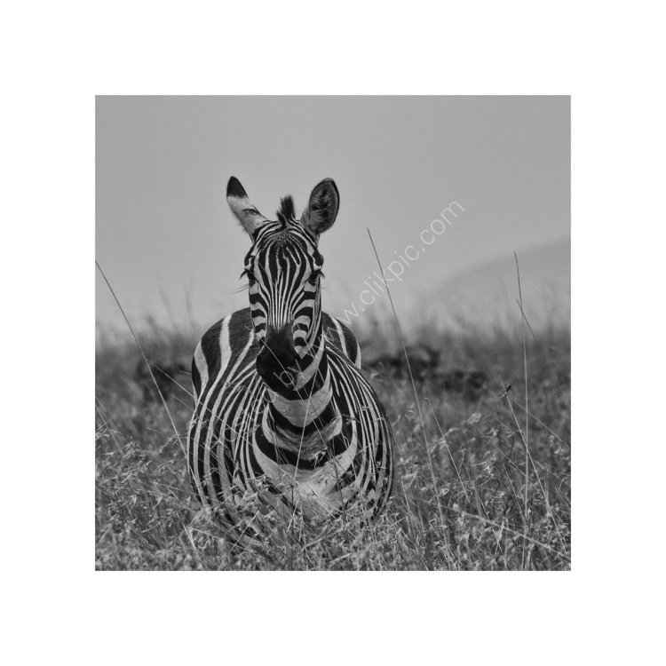 Zebra Study 1