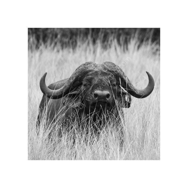 Buffalo Study 2
