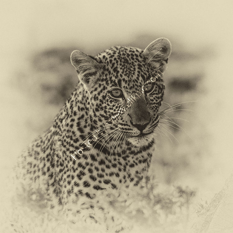 Juvenile leopard in the wild