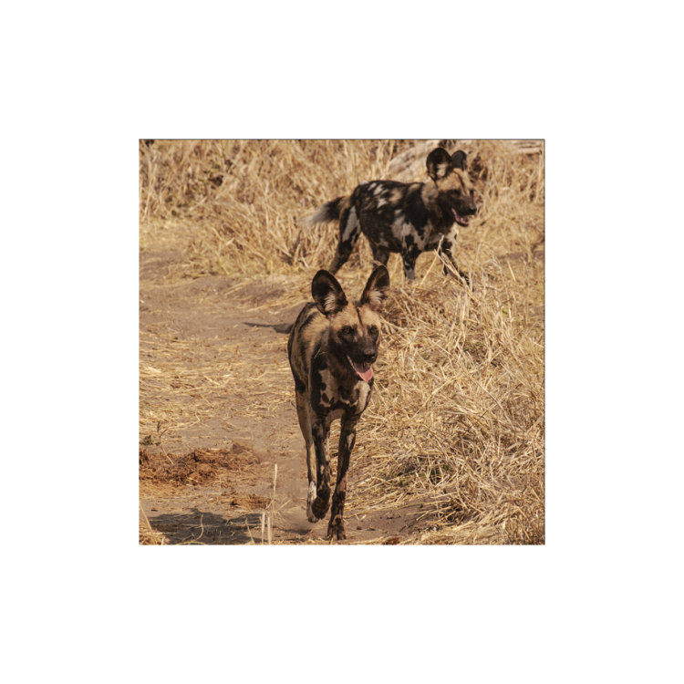 African Painted Dogs, Botswana