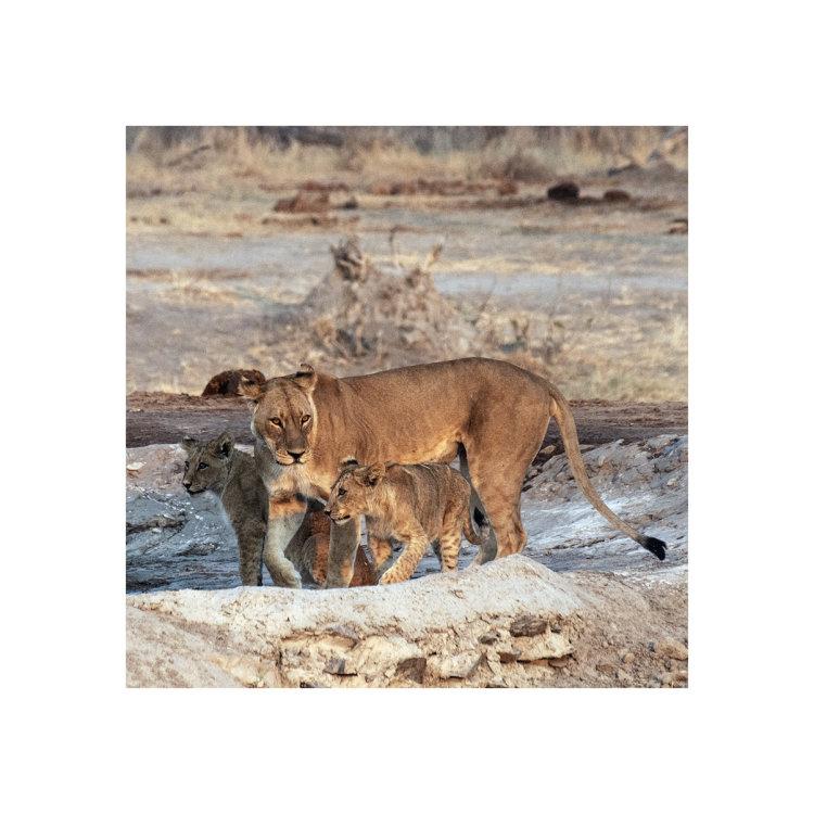 Mother & Cubs, Savuti, Botswana