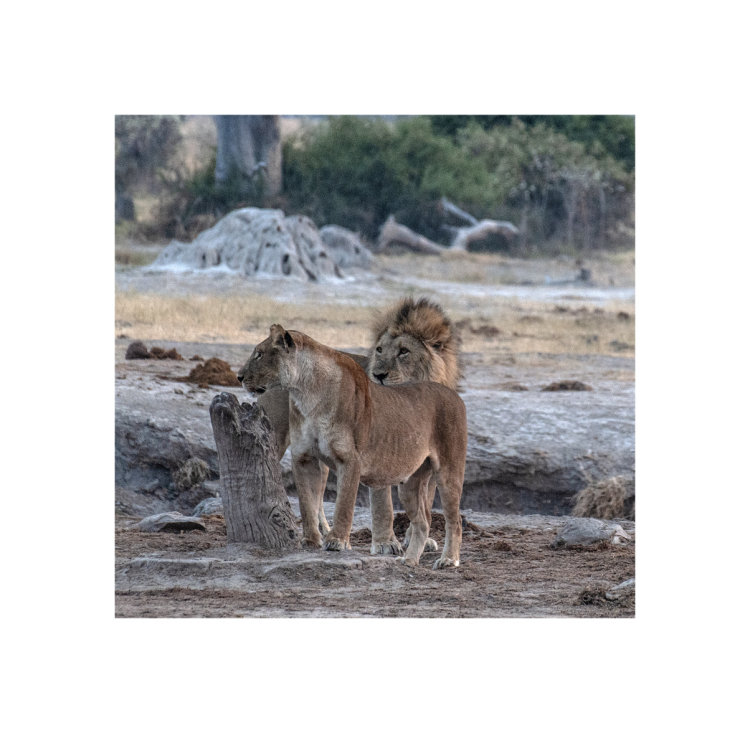 Lions at the Waterhole, Savute