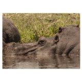 Hippo Study 2