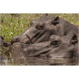 Hippo Study 3
