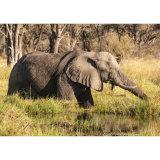 Elephant on The Manuchira Channel, River Khwai, Botswana