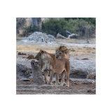Lions at the Waterhole, Savute
