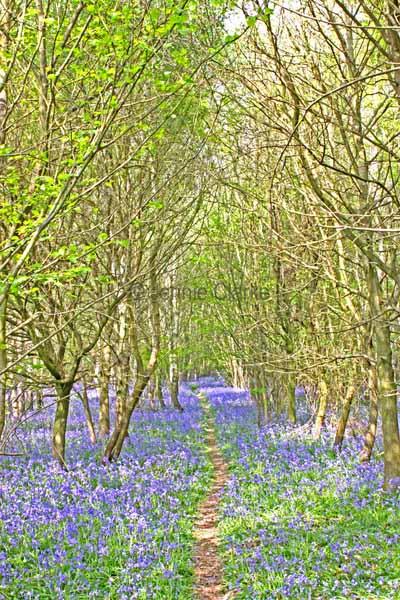 G1. Bluebell Woods