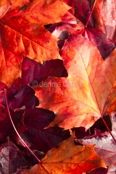 G11. Autumn Leaves