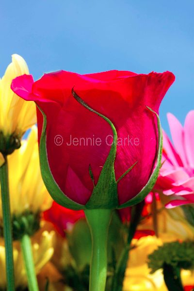 G10. Rose