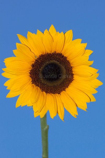 G8. Sunflower