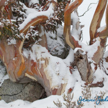 Snow Gums 1, Charlotte Pass