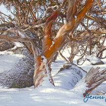 Snow Gums 1, Perisher Valley