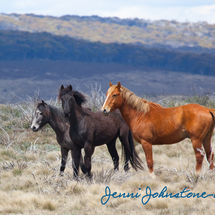 Snowy Plains Brumbies 1
