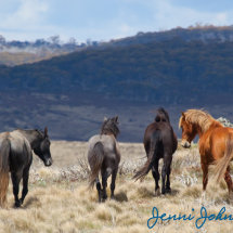Snowy Plains Brumbies 2