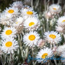 Summer Daisies 2