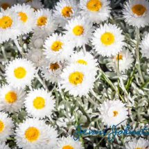 Summer Daisies 3