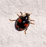 Lady Bug Harmonia-Axyrides