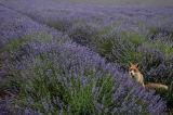 Fox in Lavender Field