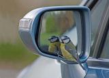 Blue Tit on Car Wing Mirror
