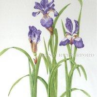 218-iris