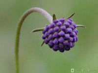 Succisa pratensis / Blauwe knoop