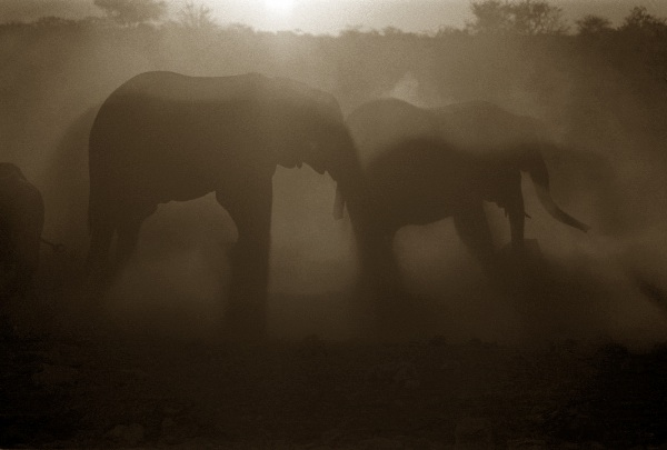 Silhouettes in the Dust, Etosha, Namibia
