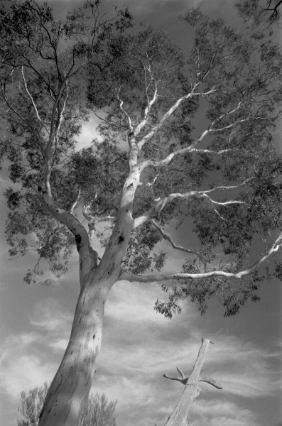 Gum Tree, State of Victoria