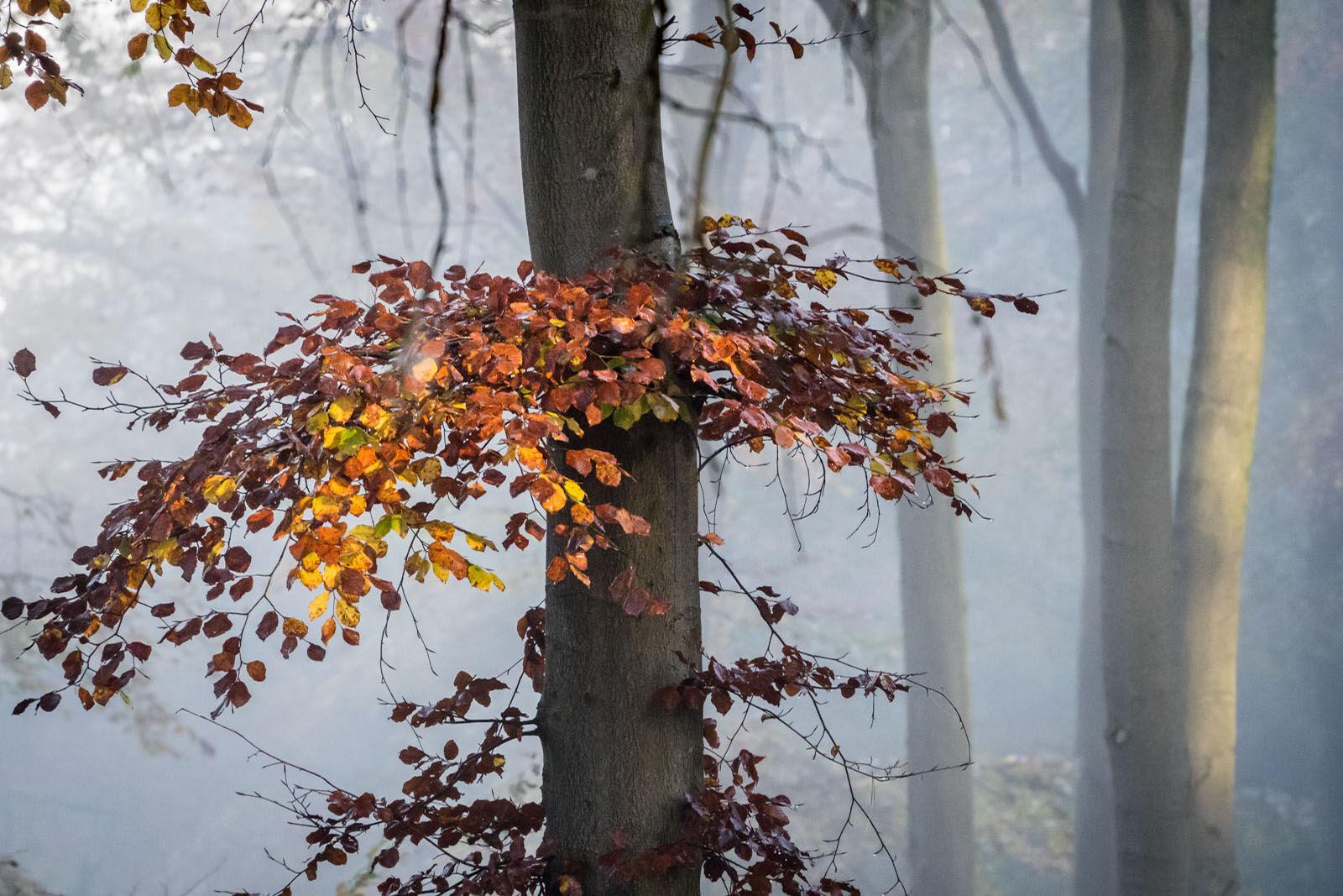 Beech in the Mist 2
