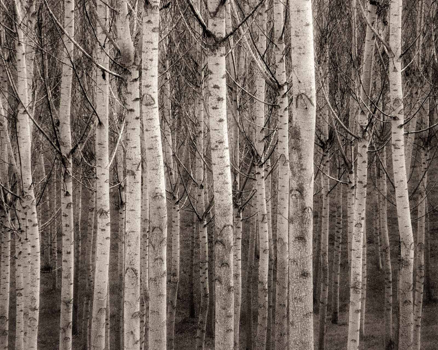 Poplar Tree Trunks
