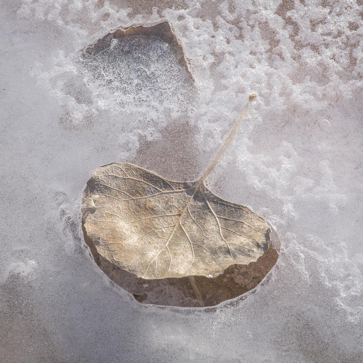 Frozen Leaves in Ice #4