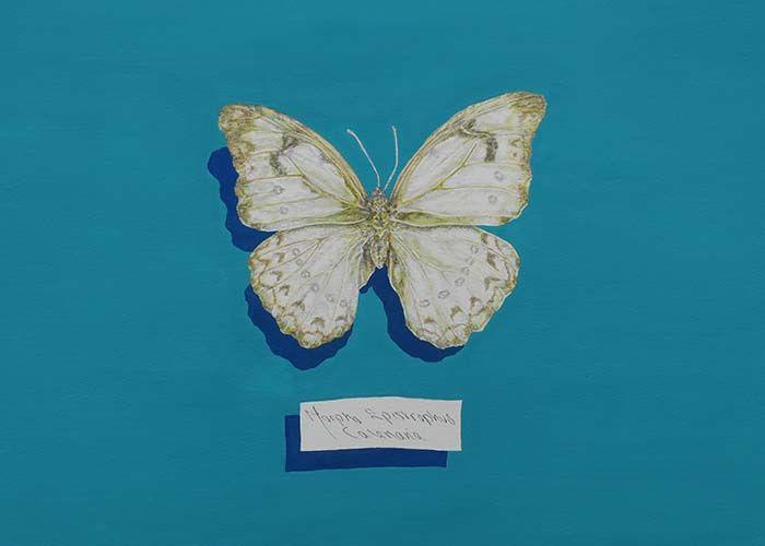 Morpho Epistropgys Calenaria