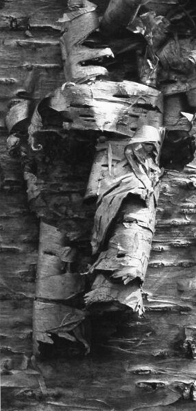 macro black and white photographic art of yellow birch tree bark in Waterloo, Ontario