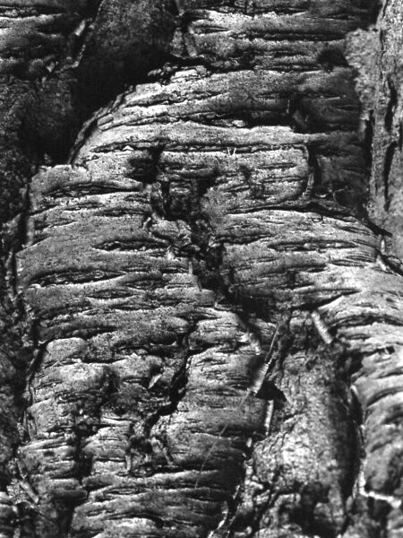 abstract black and white photographic art of black cherry tree trunk in Waterloo, Ontario