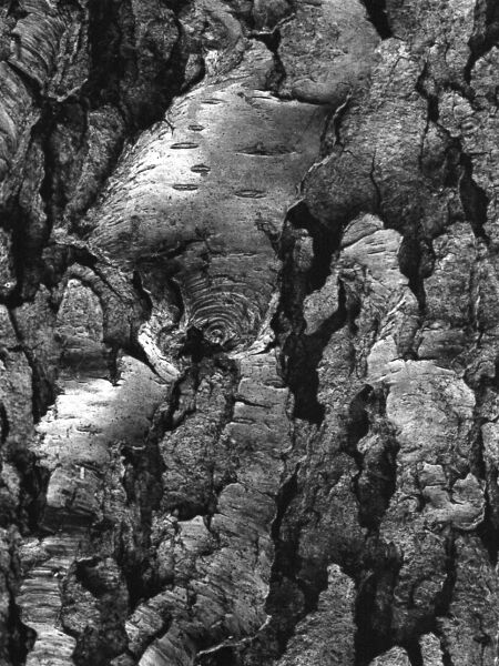 abstract black and white photographic art of black cherry tree bark