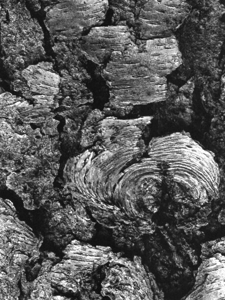 abstract black and white nature photographic art of black cherry tree bark