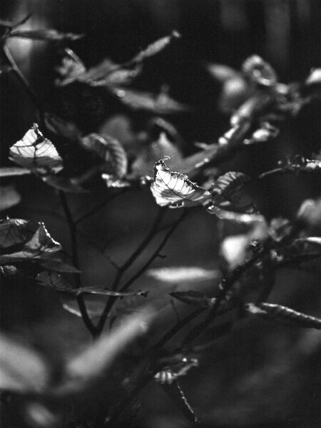 black and white photographic art of fall leaves in Waterloo, Ontario