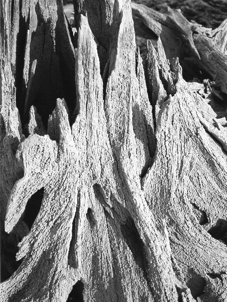 black and white photographic nature art of tree stumps on reservoir bottom in Waterloo Ontario