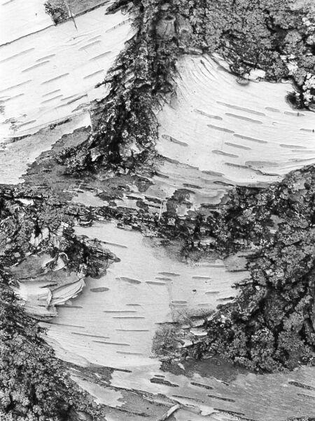 abstract black and white photographic art of mature white birch tree bark