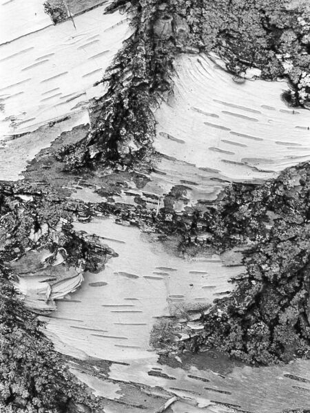 abstract black and white photographic art of birch tree trunk in Waterloo, Ontario