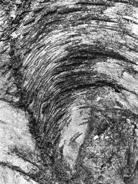 abstract black and white photographic nature art of mature white birch tree bark