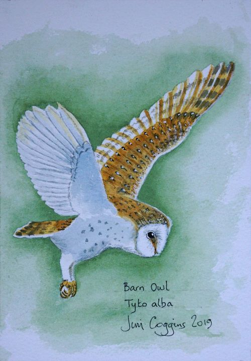 Barn Owl after Andrew Forkner