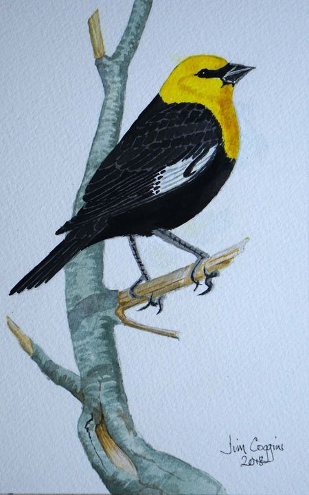 Yellow-headed Blackbird (After Andrew Forkner)