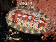 Coat of Mail Shell - Tonicella marmorea